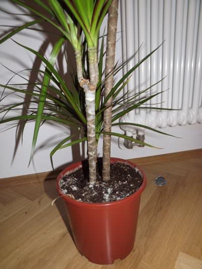 drachenbaum als zimmerpflanze und pflege. Black Bedroom Furniture Sets. Home Design Ideas